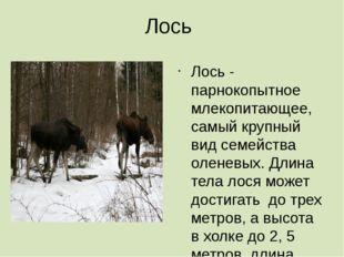 Лось Лось - парнокопытное млекопитающее, самый крупный вид семейства оленевых