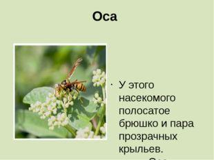 Оса   У этого насекомого полосатое брюшко и пара прозрачных крыльев.