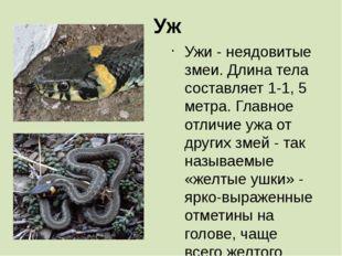 Уж Ужи - неядовитые змеи. Длина тела составляет 1-1, 5 метра. Главное отличие