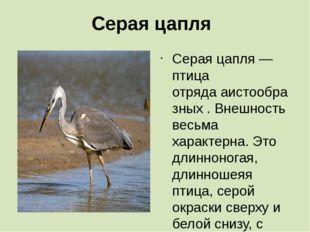 Серая цапля Серая цапля— птица отрядааистообразных. Внешность весьма харак