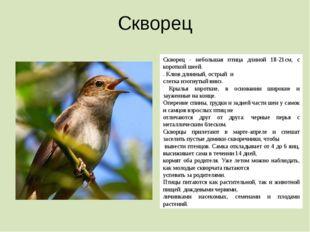 Скворец Скворец - небольшая птица длиной 18-21см, с короткой шеей. . Клюв дли