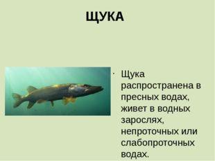 ЩУКА  Щука распространена в пресных водах, живет в водных зарослях, непроточ