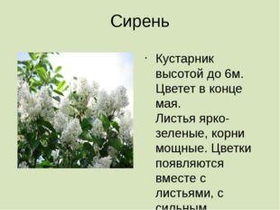 Сирень Кустарник высотой до 6м. Цветет в конце мая. Листья ярко- зеленые, кор