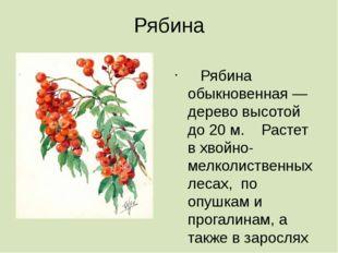Рябина  Рябина обыкновенная — дерево высотой до 20 м. Растет в хвойно-мелкол