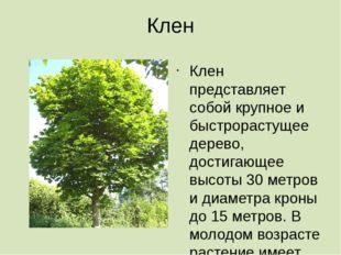Клен Клен представляет собой крупное и быстрорастущее дерево, достигающее выс