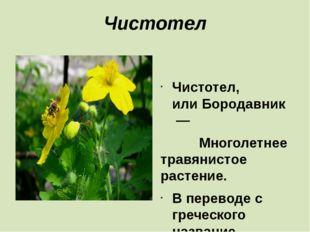 Чистотел  Чистотел, илиБородавник— Многолетнее травянистое растение. В п
