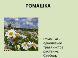 РОМАШКА    Ромашка - однолетнее травянистое растение. Стебель прямостоячий