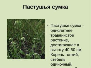 Пастушья сумка  Пастушья сумка - однолетнее травянистое растение, достигающе