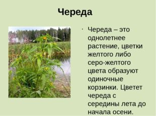 Череда Череда – это однолетнее растение, цветки желтого либо серо-желтого цве