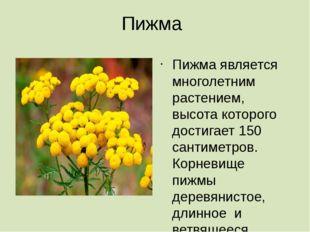 Пижма Пижма является многолетним растением, высота которого достигает 150 сан