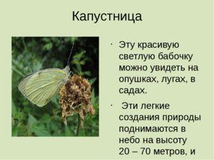 Капустница Эту красивую светлую бабочку можно увидеть на опушках, лугах, в са
