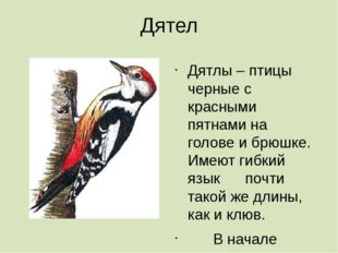 Дятел Дятлы – птицы черные с красными пятнами на голове и брюшке. Имеют гибки
