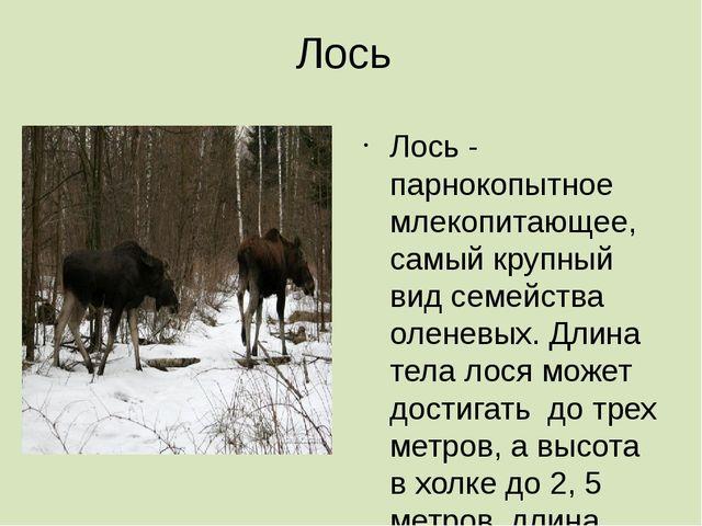 Лось Лось - парнокопытное млекопитающее, самый крупный вид семейства оленевых...