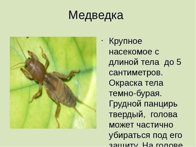 Медведка Крупное насекомое с длиной тела до 5 сантиметров. Окраска тела темно...