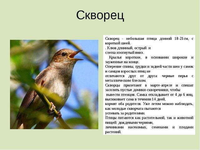 Скворец Скворец - небольшая птица длиной 18-21см, с короткой шеей. . Клюв дли...