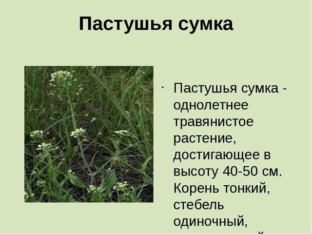 Пастушья сумка  Пастушья сумка - однолетнее травянистое растение, достигающе...