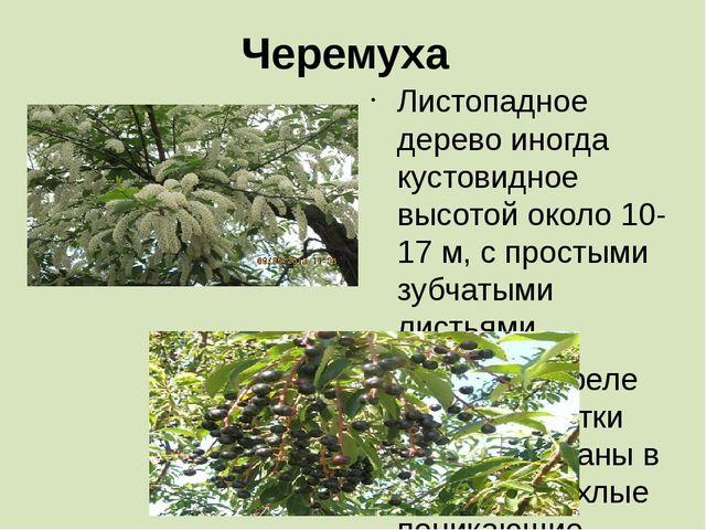 Черемуха Листопадное дерево иногда кустовидное высотой около 10-17 м, с прост...