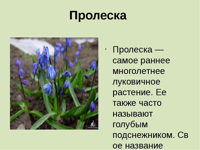 Пролеска Пролеска — самое раннее многолетнее луковичное растение. Ее также ча...