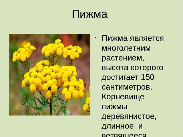 Пижма Пижма является многолетним растением, высота которого достигает 150 сан...