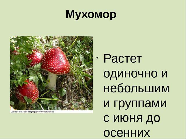 Мухомор  Растет одиночно и небольшими группами с июня до осенних заморозков....