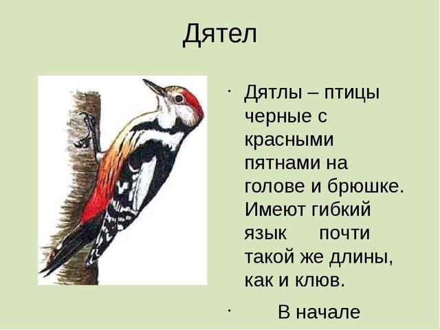 Дятел Дятлы – птицы черные с красными пятнами на голове и брюшке. Имеют гибки...