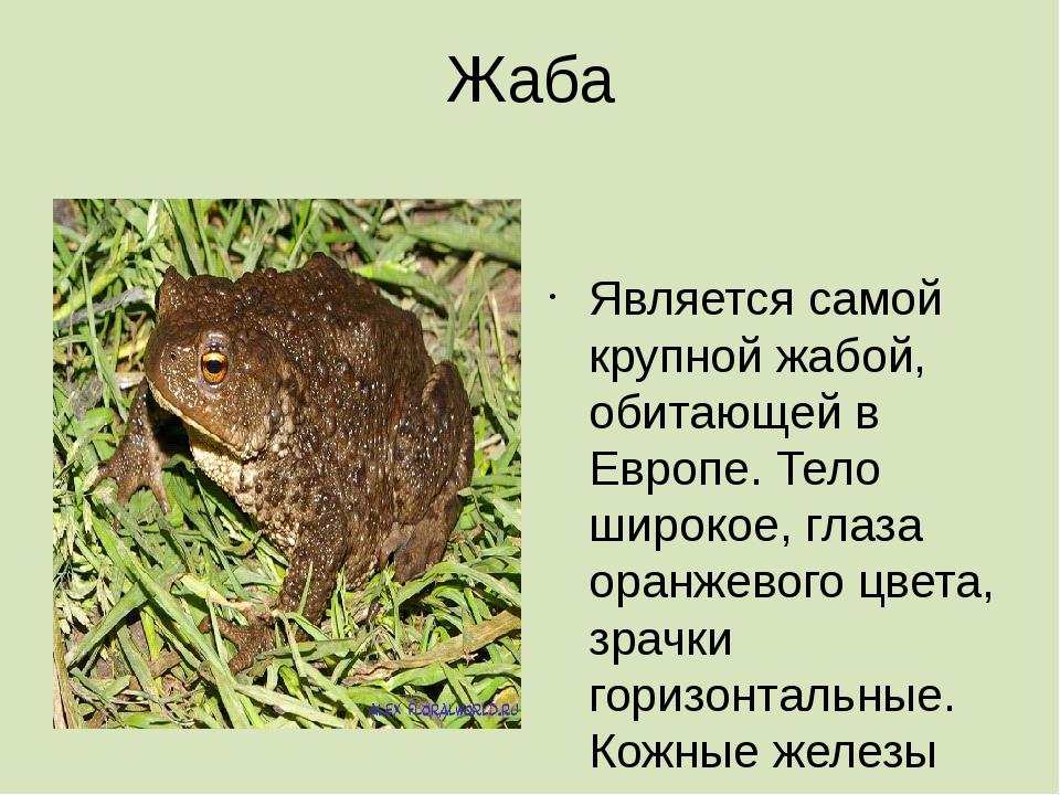 Жаба  Является самой крупной жабой, обитающей в Европе. Тело широкое, глаза...