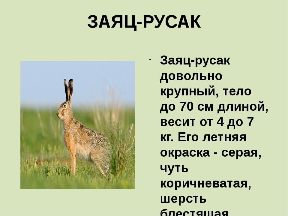 ЗАЯЦ-РУСАК Заяц-русак довольно крупный, тело до 70 см длиной, весит от 4 до 7...