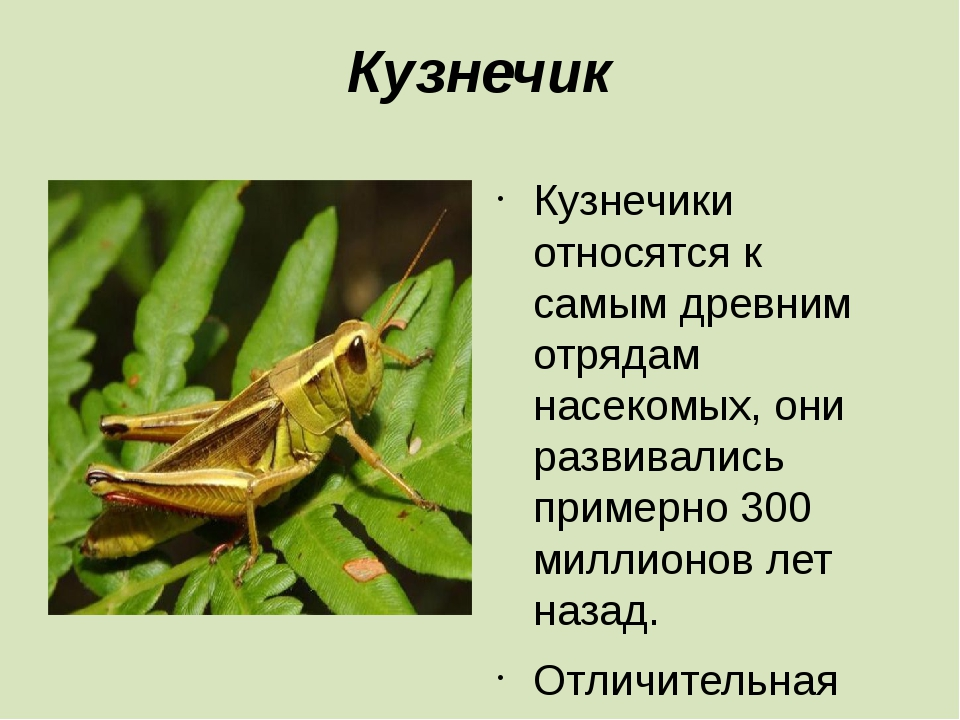 Кузнечик Кузнечики относятся к самым древним отрядам насекомых, они развивали...