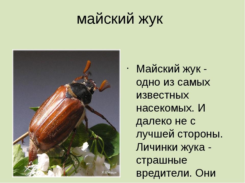майский жук  Майский жук - одно из самых известных насекомых. И далеко не с...