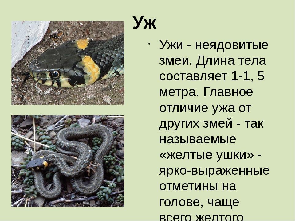 Уж Ужи - неядовитые змеи. Длина тела составляет 1-1, 5 метра. Главное отличие...