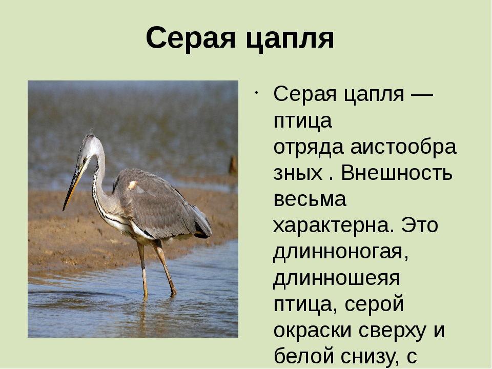 Серая цапля Серая цапля— птица отрядааистообразных. Внешность весьма харак...