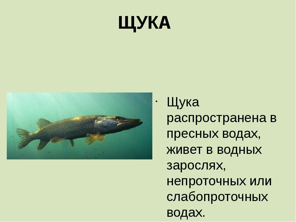 ЩУКА  Щука распространена в пресных водах, живет в водных зарослях, непроточ...