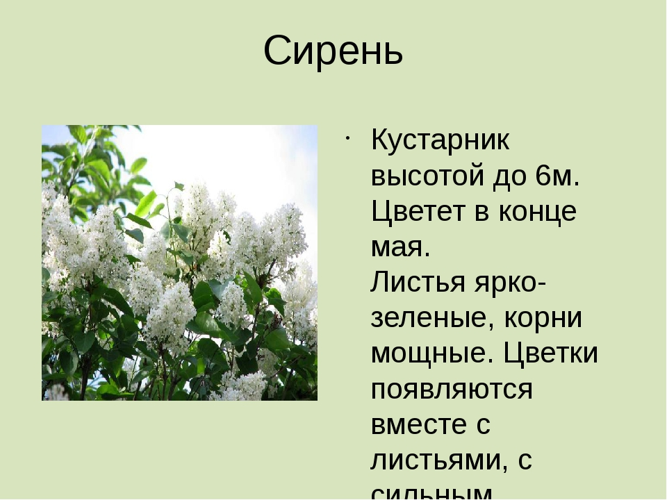 Сирень Кустарник высотой до 6м. Цветет в конце мая. Листья ярко- зеленые, кор...