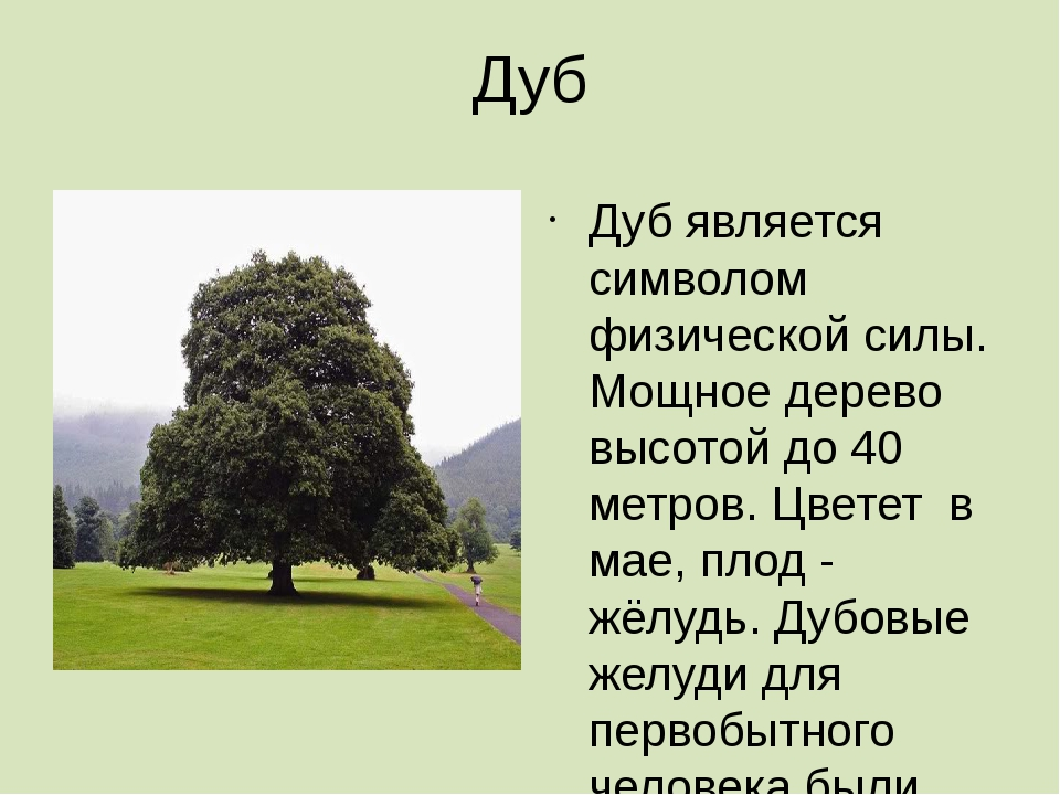Дуб Дуб является символом физической силы. Мощное дерево высотой до 40 метров...