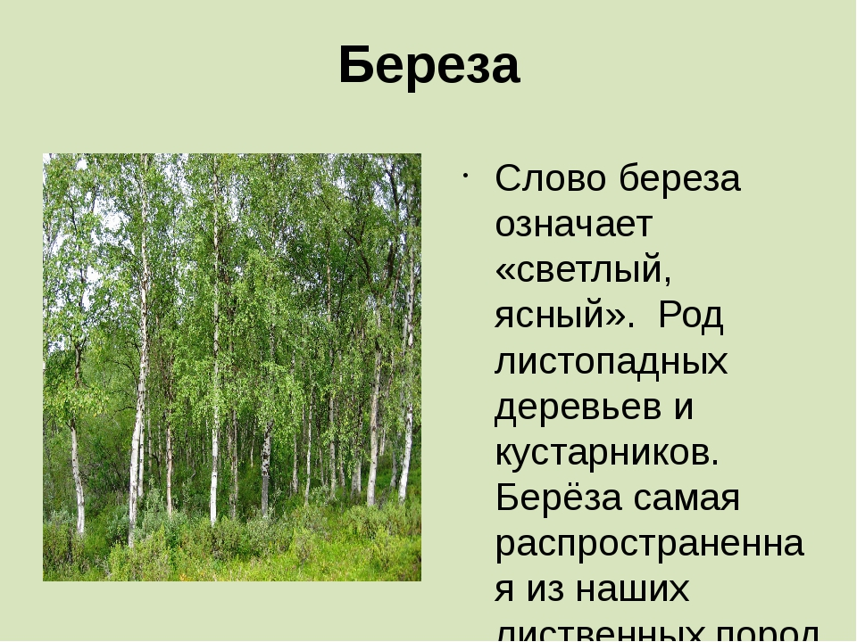 Береза Слово береза означает «светлый, ясный». Род листопадных деревьев и кус...