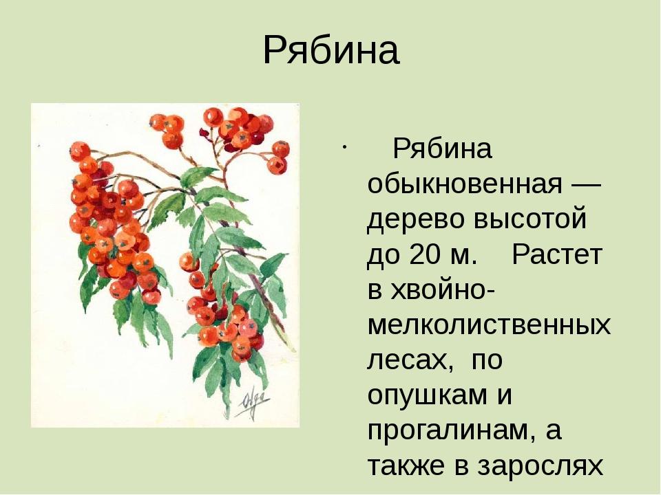 Рябина  Рябина обыкновенная — дерево высотой до 20 м. Растет в хвойно-мелкол...
