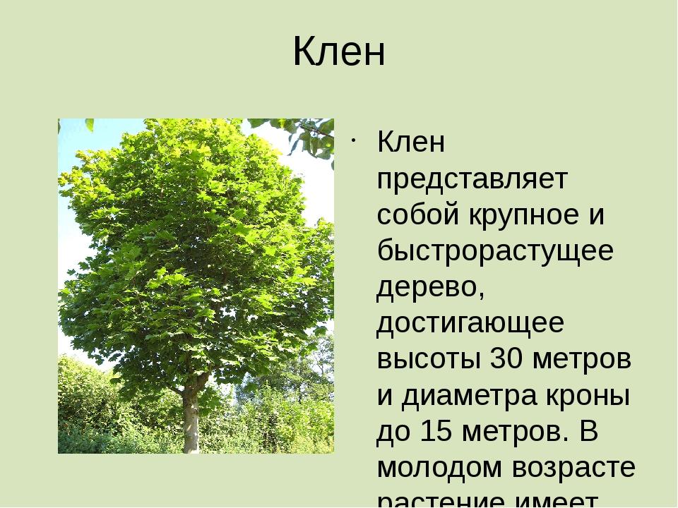 Клен Клен представляет собой крупное и быстрорастущее дерево, достигающее выс...
