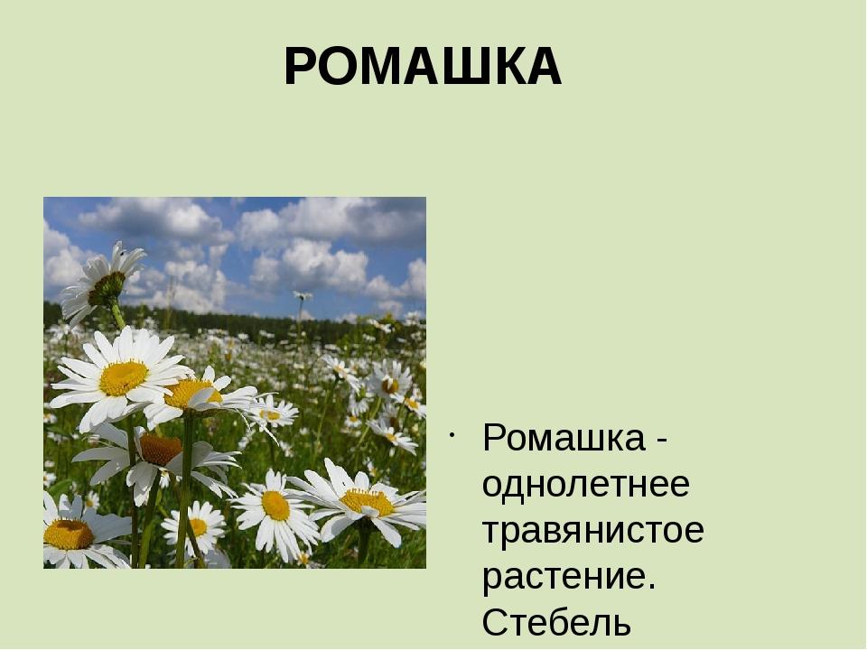РОМАШКА    Ромашка - однолетнее травянистое растение. Стебель прямостоячий...