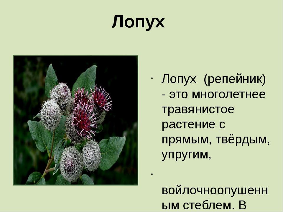 Лопух Лопух (репейник) - это многолетнее травянистое растение с прямым, твёрд...