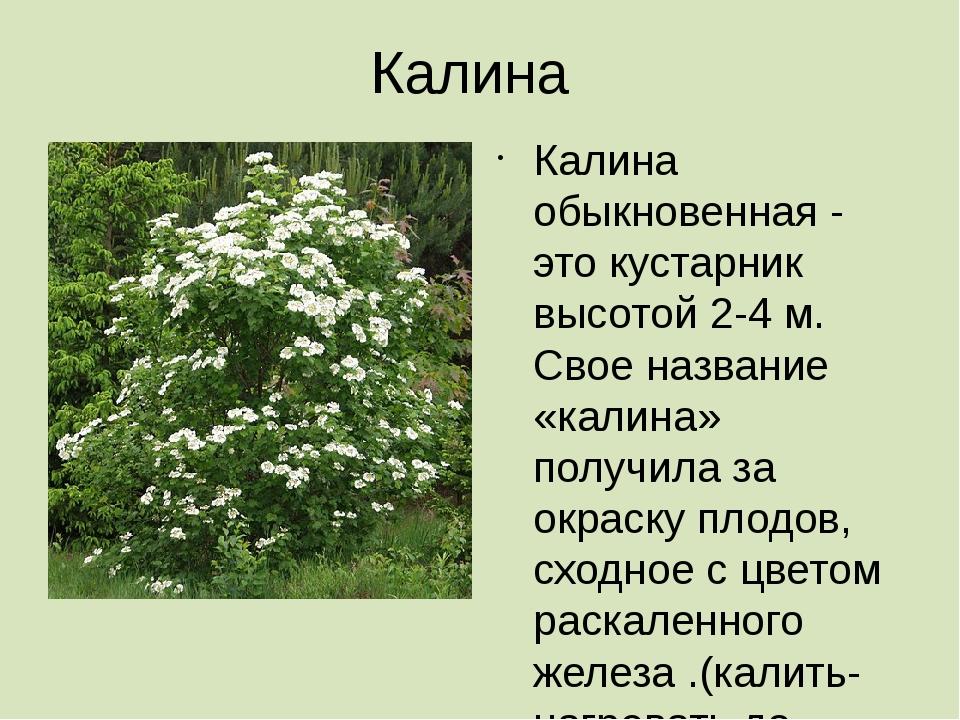 Калина Калина обыкновенная - это кустарник высотой 2-4 м. Свое название «кали...