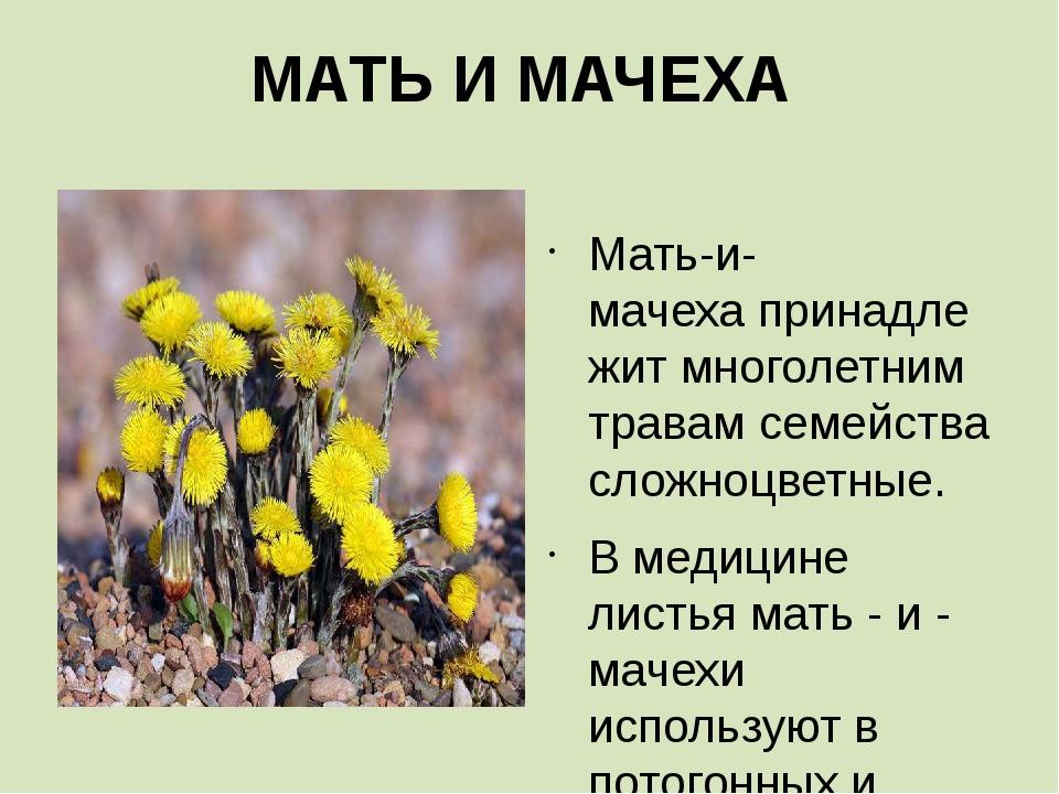МАТЬ И МАЧЕХА  Мать-и-мачехапринадлежит многолетним травам семейства сложно...