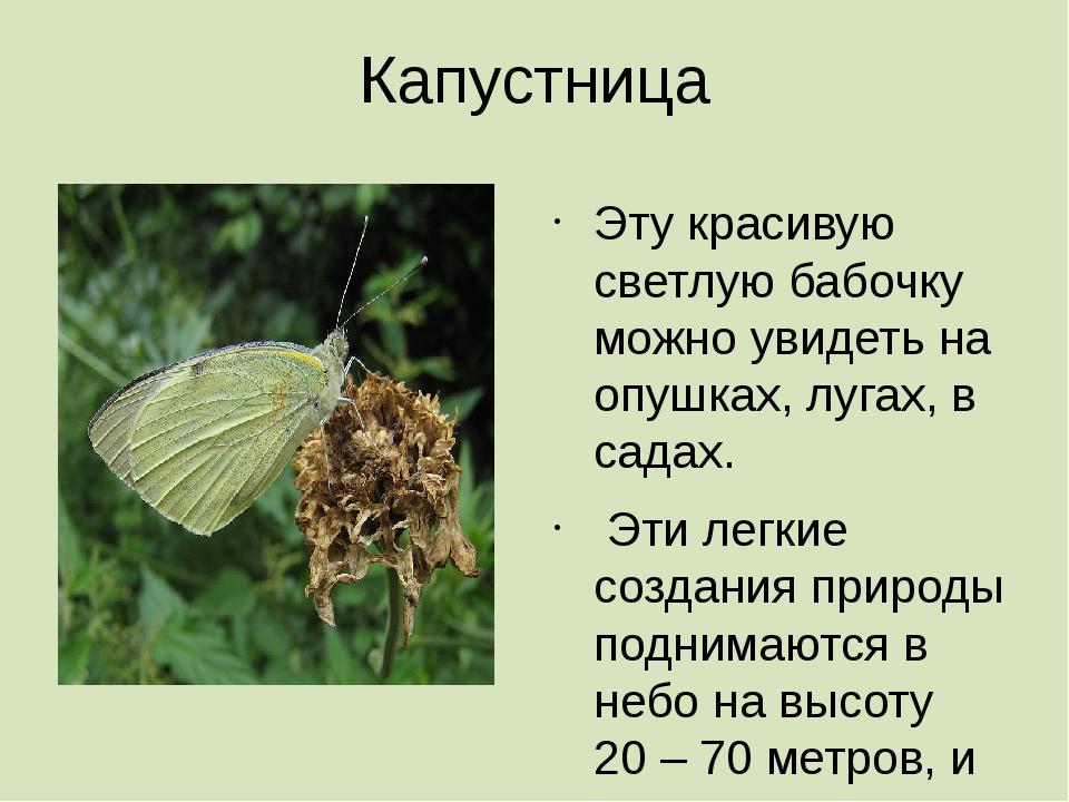 Капустница Эту красивую светлую бабочку можно увидеть на опушках, лугах, в са...