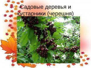 Садовые деревья и кустарники (черешня)