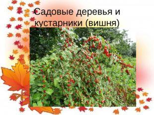 Садовые деревья и кустарники (вишня)