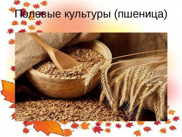 Полевые культуры (пшеница)
