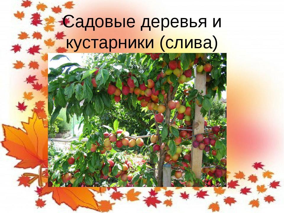 Садовые деревья и кустарники (слива)