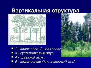 Вертикальная структура 1 - полог леса, 2 - подлесок, 3 - кустарниковый ярус,