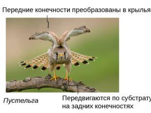 Пустельга Передние конечности преобразованы в крылья Передвигаются по субстра