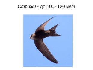 Стрижи - до 100- 120 км/ч