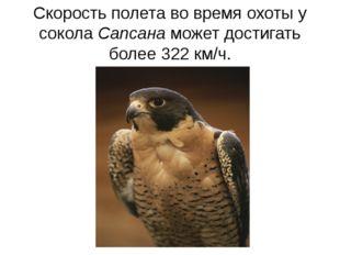 Скорость полета во время охоты у сокола Сапсана может достигать более 322 км/ч.